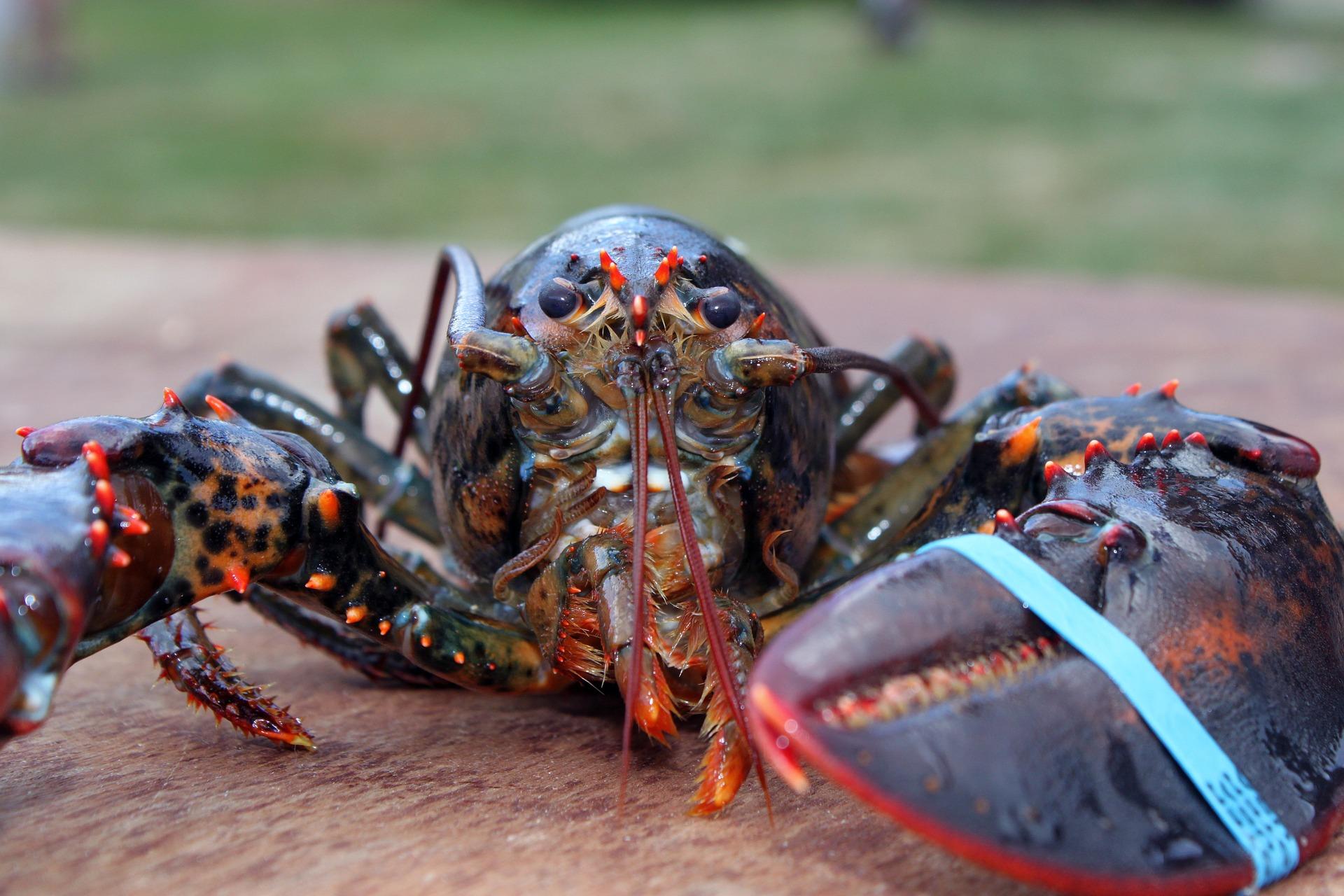lobster-1615906_1920